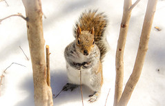 Squirrel in Snow (Naturali Images) Tags: squirrel snow spring nature