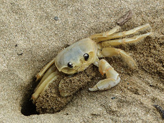 It's hard work, but someone's got to do it (annkelliott) Tags: tobago island speyside bluewatersinn batteauxbay nature crab atlanticghostcrab ocypodequadrata crustacean plain nopattern macro closeup sand beach digginganewburrow outdoor 13march2017 fz200 fz2004 annkelliott anneelliott ©anneelliott2017 ©allrightsreserved