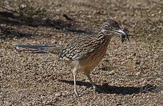 Roadrunner With A Snack {In Explore 2/26/17}