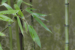 Bamboo (Scott DeSelle) Tags: canon eos7dmarkii canonef70200mmf28lisiiusm acratech rrs reallyrightstuff bamboo