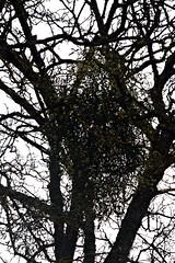 9 - Oublié des druides (melina1965) Tags: 2017 février february bourgogne saôneetloire saintvallier burgondy nikon coolpix s3700 winter hiver arbre arbres tree trees contrejour againstthelight