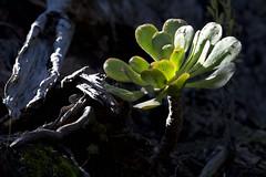 Bejeque puntero de Tenerife (ramosblancor) Tags: naturaleza nature plantas plants botánica botany endemismo endemism bejeque macaronesia bejequepunterodetenerife aeoniumurbicum anaga tenerife islascanarias canaryislands españa spain invierno winter treehouseleek crassulaceae
