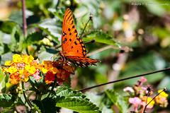 Gulf Fritillary (Glotzsee) Tags: nature florida stluciecounty outdoors outside wildlife glotzsee glotzseefloridaimages insects butterfly gulffritillary lantana