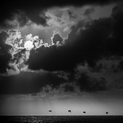 Four Pelicans (Mabry Campbell) Tags: 2012 august brazoriacounty gulfofmexico mabrycampbell surfside surfsidebeach tx texas us usa unitedstates unitedstatesofamerica animal animals birds blackandwhite clouds coast coastal fineartphotography flying four image monochrome pelicans photo photograph photography seascape squarecrop sunrise water f28 august112012 201208113467 200mm ¹⁄₈₀₀₀sec 100 ef200mmf28liiusm fav10 fav20 fav30 fav40 fav50 fav60 fav70 fav80 fav90 fav100