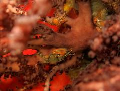 IMG_7034 (adrienweckel) Tags: adrienweckel crabeporcelaineagréable crustacés petrolisthesamoenus