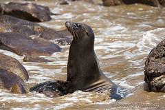 287-Galapagos_Houwing (Beverly Houwing) Tags: beverlyhouwing 2017 squidgallery island galapagos ecuador equator sancristobal puntapitt beach mammal galapagossealion surf waves lavarocks