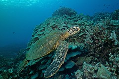 the wide reef (BarryFackler) Tags: animal life creature organism being island fauna sealife vertebrate zoology biology marinelife 2017 nature ecology undersea aqatic scuba marinebiology water turtle honu cmydas hawaiiangreenseaturtle marinereptile seaturtle coralreef cheloniamydas shell carapace greenseaturtle reef barryfackler westhawaii saltwater ocean kona bigislanddiving sealifecamera marine tropical outdoor pacificocean hawaiicounty konadiving hawaiianislands bigisland sea ecosystem marineecology coral polynesia hawaiiisland underwater sandwichislands hawaii southkona bay pacific barronfackler honaunau marineecosystem seacreature dive diving diver hawaiidiving honaunaubay konacoast