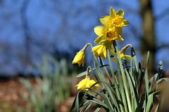 Hillside daffodils (david.england18) Tags: daffodils localpark queensparkheywood smallbirds tits blue great coal bluesky canon7d canonef300mmf4lisusm