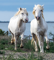 2016 Best Two Camargue Stallions (19) (maskirovka77) Tags: saintlaurentdaigouze languedocroussillonmidipyrén france languedocroussillonmidipyrénées fr stallion stallions createaway