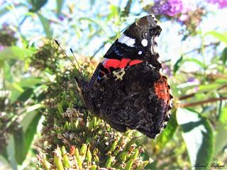 Butterfly 1198