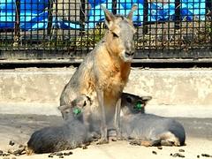 Twin baby Patagonian Maras (yukohayashi2) Tags: mara patagonianmara twin baby マーラ 赤ちゃん 双子 井の頭恩賜公園 吉祥寺
