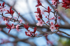 Flowering Plum (?) in Spring, Lake Merritt, Oakland (takasphoto.com) Tags: カリフォルニア サンフランシスコ メリット湖 加利福尼亚 加州 北カリフォルニア 北米 奥克兰 季節 季節感 春 有花植物 植物 港湾都市 王府 米国 美国 自然 花 花卉 被子植物 西海岸 오클랜드 usa unitedstates unitedstatesofamerica westcoast westoakland xochitl калифорния окленд цветок אוקלנד פרח أوكلاند اوکلند زهرة گل ดอก アメリカ アメリカ合衆国 アラメダ郡 イーストベイ オークランド northerncalifornia oakland outdoor plantae portofoakland primavera rotarynaturecenter sfbayarea sfbay sanfrancisco sanfranciscobayarea season spring sustainability tidallagoon time nature norcal northamerica greenplants hoa kingdomplantae lagoon lakemerritt nationalregisterofhistoricplaces flower floweringplant eastbay estadosunidos flor