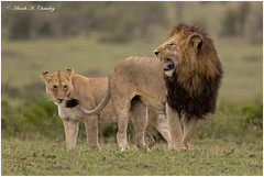 King & his Queen! (MAC's Wild Pixels) Tags: kinghisqueen lionking notchii kingnotchii kinglion lion malelion lioness queenofthejungle queenofthesavannah wildafrica wildanimal wildlife wildcats africanwildlife animal outdoors outofafrica maasaimaragamereserve kenya macswildpixels bigpussycat carnivore predator ngc npc fabuleuse
