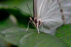 Papillons en Liberté 2017 - Photo 41 (Le Chibouki frustré) Tags: nikon nikond700 d700 700 fx fullframe montréal montreal homa hochelagamaisonneuve macro macrophotographie botanicalgarden jardinbotanique jardinbotaniquedemontréal montrealbotanicalgarden butterfly insect insects bokeh dof pdc papillonsenliberté2017 butterfliesgofree2017 closeuplens closeupfilter