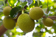 Jack Fruit (Five Second Rule) Tags: hochiminhcity saigon vietnam 2017 tree jackfruit natural outdoor