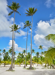 Palm trees in Dominican Republic (JanBures_com) Tags: palm tree nature tropical tropic dominican republic caribbean holiday sand coconut ngc