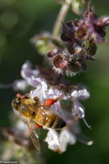 IMG_0028 (hickspixoz) Tags: bee honey basil pollen collecting