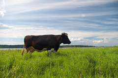 cow and green meadow (beyondzzp) Tags: blue summer sky white black green nature field leather animal skyline rural standing countryside cow milk close cattle farm beef country farming meadow farmland fresh spots hide pasture steak land chew farmer curious agriculture dairy pastoral hoof livestock herd bovine grazing cud dung graze udder heffer fresian russianfederation
