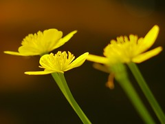 Buttercups on golden pond (AxsMan) Tags: lumixgvario45200f4056