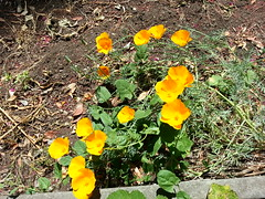California Poppies (MrPlow5) Tags: flowers poppies flickrandroidapp:filter=none