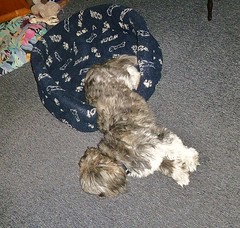 I got Stanley a posh new bed yesterday (helenoftheways) Tags: dogs woof animals shihtzu stanley doggybed