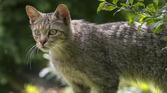 Anholtermeet 9 (Patrick Mortko) Tags: pentax k5 felis wildekat silvestris wildparkanholterschweiz sigma150500f5f63apodgos