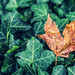 Brown Leaf | Green Leaves