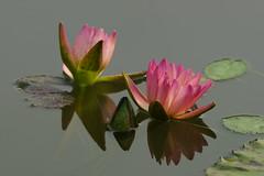 Waterlily 3 (dooroomii82) Tags: waterlily