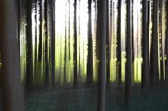 Silva (Pedropicco) Tags: trees forest arbres fort poselongue