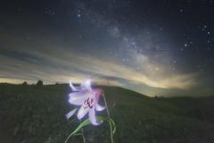 Milky Way of Lilium japonicum (masahiro miyasaka) Tags: flowers sky white tree nature beautiful japan night wonderful stars wonder iso3200 star lily galaxy astrophotography 日本 wallpapers alpen oneshot milkyway 夜 startrail 宇宙 銀河 Astrometrydotnet:status=failed d800e