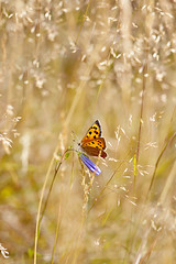 Small Copper (Lycaena phlaeas)px (Jacky Parker Floral Art) Tags: portrait flower nature field grass vertical fauna butterfly one flora wildlife meadow single format grasses wildflowers berkshire orientation langley harebell smallcopper lycaenaphlaeas countryparks