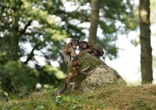 Tres Banditos (pt.1)  - 3 Monkey Babies - Berberaffen - in explore