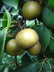 Fruits of the season: Asian pears (ali eminov) Tags: trees plants fruits pears wayne fruittrees peartrees asianpears asianpeartrees