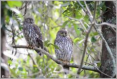 Barking Owl (Ross_M) Tags: birds australia queensland goldcoast australianbirds strigiformes barkingowl strigidae ninoxconnivens tallebudgera schusterpark