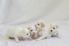 Skipper's litter (Save-A-Pet Adoption Center) Tags: 2013 dog puppy skipperslitter jazzie blaine ken kurtis adopted maltese saveapet