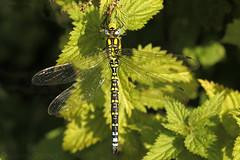 Southern Hawker (Aeshna cyanea) . (od0man) Tags: southernhawker aeshnacyanea anisoptera odonata aeshnid insect dragonfly macro hawker tisbury wiltshire uk geo:lat=51056963400922434 geo:lon=20806732176424703 geotagged ef100mmf28lisusmmacro