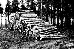 Waiting for the Forrester to Come (MightySnail) Tags: wood blackandwhite tree monochrome pine blackwhite log timber logs stack pile trunk lumber