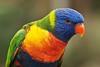 Rainbow Lorikeet (Trichoglossus haematodus) (PeterQQ2009) Tags: zoo rainbowlorikeet trichoglossushaematodus