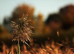 Schilf im Herbst (gutlaunefotos ☮) Tags: herbst schilf