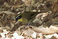Séricorne à gorge jaune / Yellow-throated Scrubwren (Yanick Saindon) Tags: australie scrubwren 2013 séricorne passériformes acanthizidés oiseauaustralie
