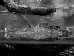 L'oeil (Fluxusphotos) Tags: life wild blackandwhite france eye nature water beautiful look animal zoo aquarium photo eau noir picture oeil beaut crocodile et blanc beau captivity regard sauvage relation aquatique caille captivit