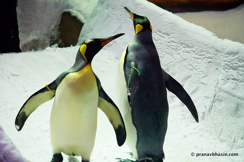 Love Birds, Emperor Penguins At Ski Dubai, Mall Of Emirates, Dubai