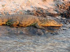 Nile crocodile (Linda DV) Tags: africa travel nature canon river geotagged nationalpark reptile crocodile botswana chobe zambezi cuando southernafrica nilecrocodile 2013 crocodylidae kwando geomapped crocodylusniloticus lindadevolder powershotsx40