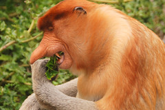 Male Proboscis Monkey (Nasalis larvatus) eating leaves, Labuk Bay, Sabah, Malaysia (Damon Tighe) Tags: male leaves animal monkey bay asia southeastasia eating wildlife south teeth sharp east malaysia borneo primate sabah animalia mammalia proboscis primates proboscismonkey chordata nasique labuk cercopithecidae nasalislarvatus taxonomy:kingdom=animalia taxonomy:class=mammalia taxonomy:phylum=chordata nasalis larvatus mononarigudo longnosedmonkey  taxonomy:order=primates taxonomy:family=cercopithecidae taxonomy:binomial=nasalislarvatus taxonomy:species=larvatus taxonomy:genus=nasalis taxonomy:common=proboscismonkey taxonomy:common=longnosedmonkey taxonomy:common=nasique taxonomy:common=mononarigudo