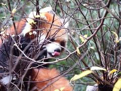Idgie Tasting the Air #2 (MsLiz788) Tags: redpanda zooatlanta zoosofnorthamerica