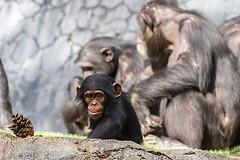 20131123_107 (orca_bc) Tags: baby love mom monkey babies chimp moms ape chimpanzee females chimps chimpanzees pantroglodytes commonchimpanzee colloquiallychimp