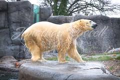 Polar Bear (Jonathan.Russell) Tags: bear christmas cold water grass rain rock stone swim canon copenhagen lens zoo foto russell jonathan shake 5d polar togs jonooter