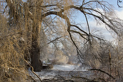 After the ice-storm (obukovska) Tags: snow frozen harshwinter brokentree harshweather