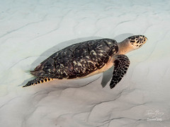 Green Sea Turtle (dlyoung) Tags: diver cozumel seaturtle greenseaturtle boatdive isberostar janeireland divetype