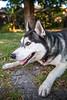 Ready to play... (Gertrude139) Tags: blackandwhite dog smile happy husky pretty play cheeky siberianhusky pounce sibe bieyed